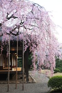 写真:伝法院しだれ桜